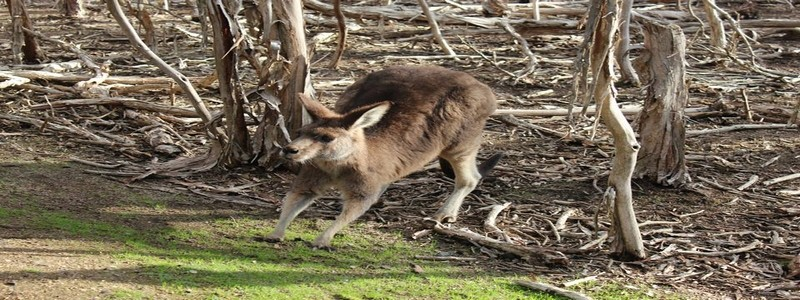 Phillip Island, kangourou
